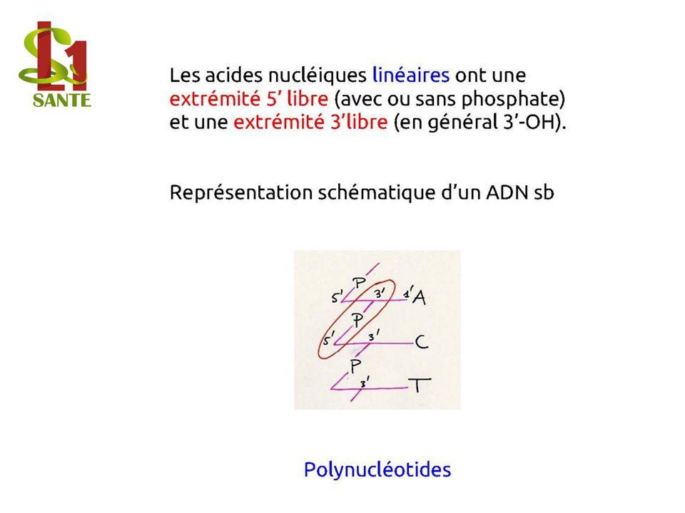 Les acides nucléiques linéaires Représentation schématique d'un ADN sb Polynucléotides