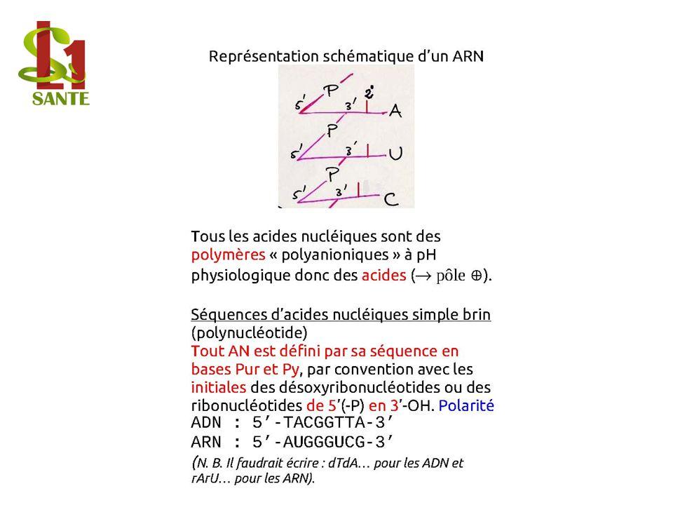 Représentation schématique d'un ARN