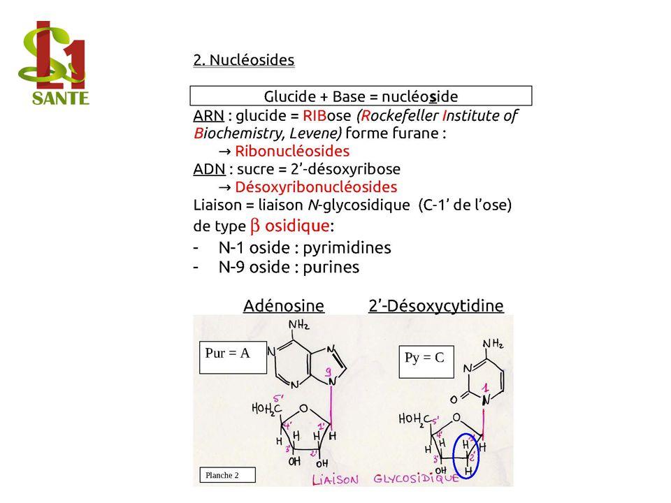 2. Nucléosides