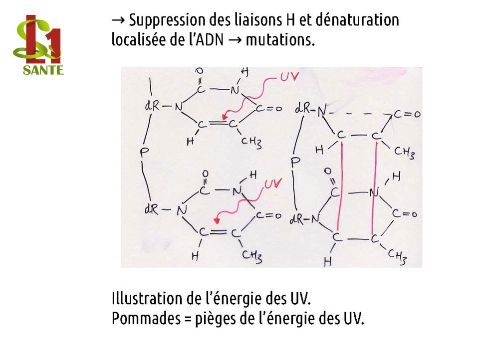 Suppression des liaisons H et dénaturation →