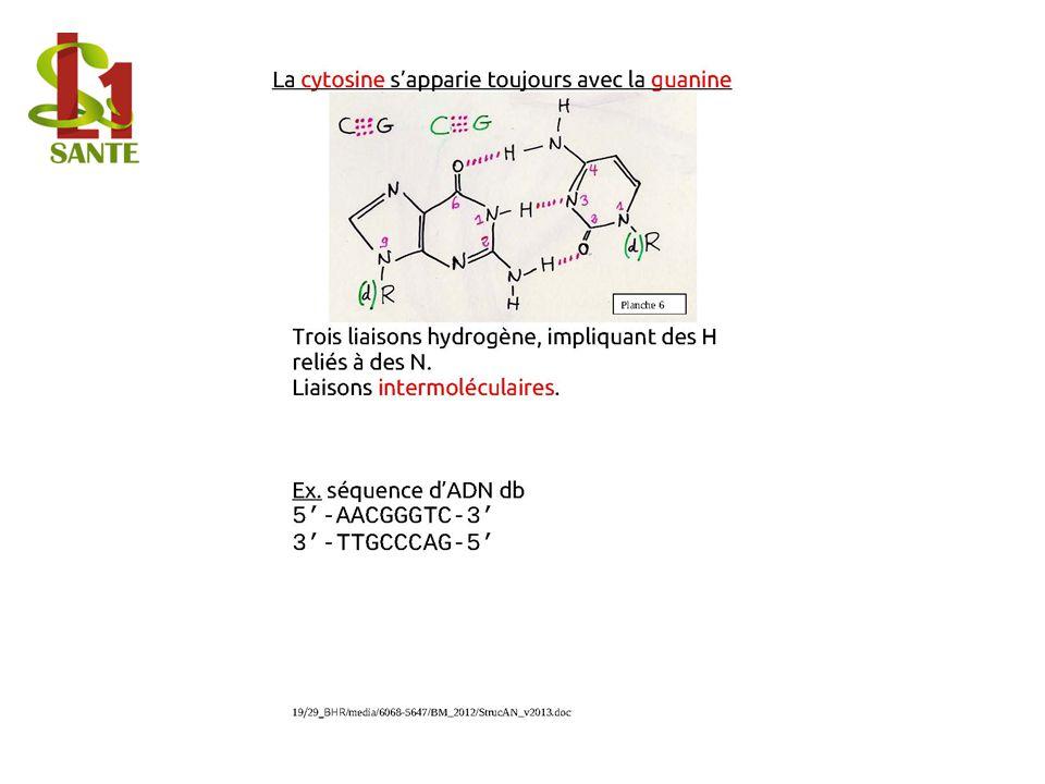 La cytosine s'apparie toujours avec la guanine