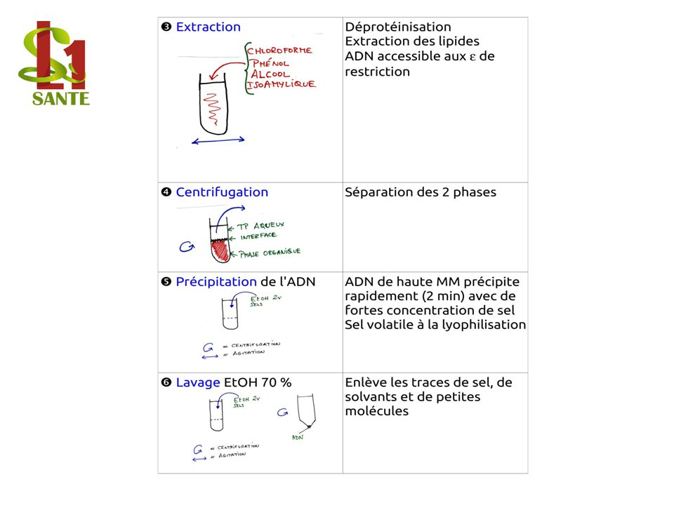 Extraction / Centrifugation / Précipitation de l ADN / Lavage EtOH 70 %