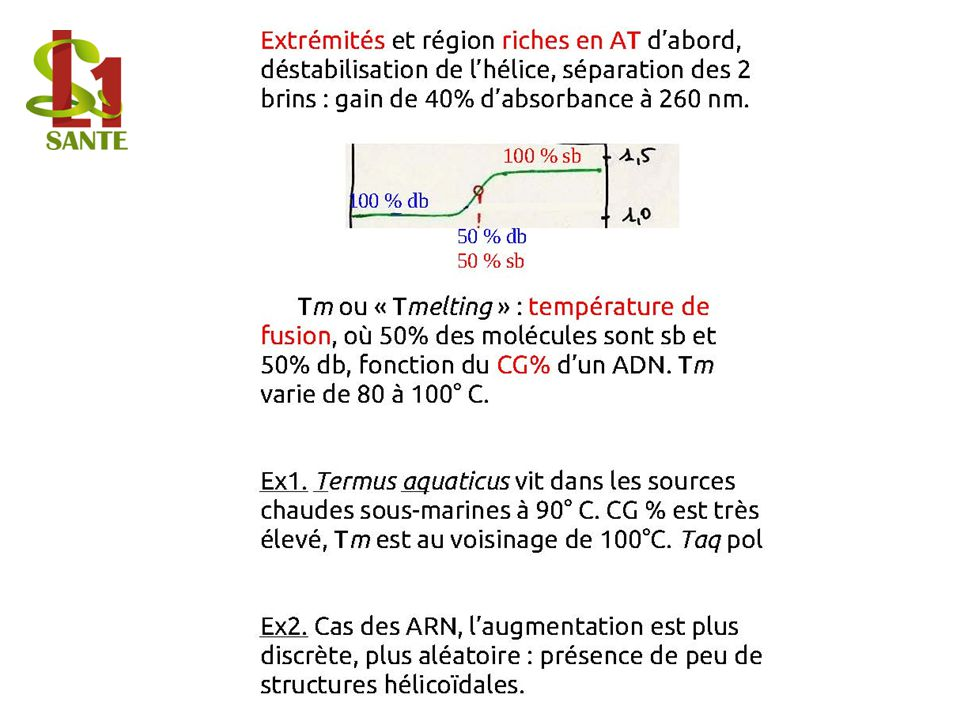 Extrémités et région riches en AT d'abord, déstabilisation de l'hélice, séparation des 2 brins : gain de 40% d'absorbance à 260 nm.