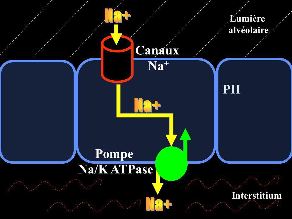 Na+ Na+ Na+ Canaux Na+ PII Pompe Na/K ATPase Lumière alvéolaire