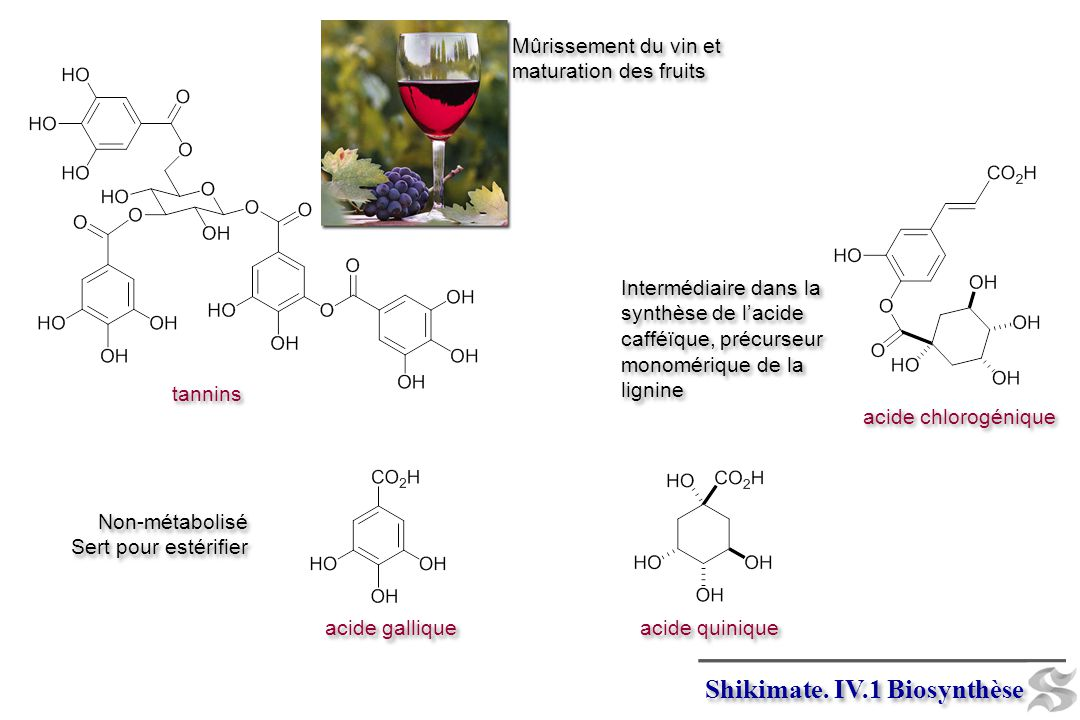 Shikimate. IV.1 Biosynthèse