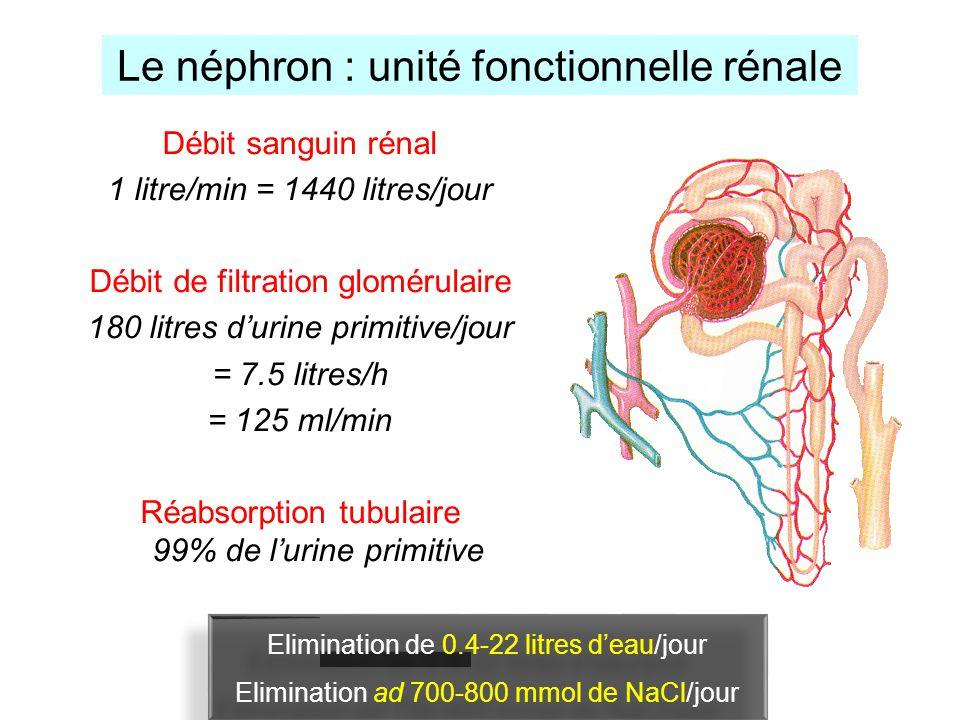 Le néphron : unité fonctionnelle rénale