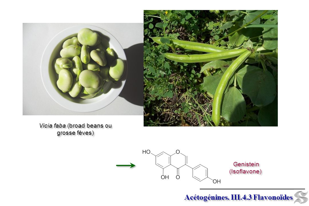 Vicia faba (broad beans ou grosse fèves)
