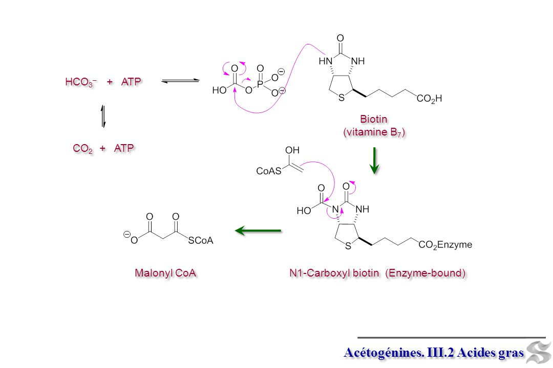 N1-Carboxyl biotin (Enzyme-bound)