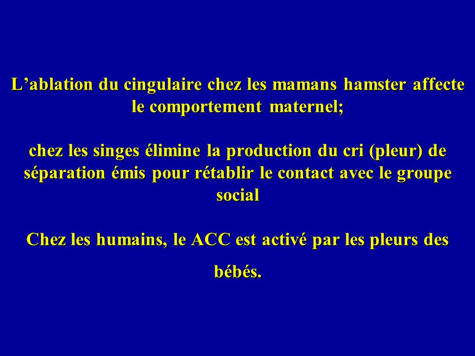 L'ablation du cingulaire chez les mamans hamster affecte le comportement maternel; chez les singes élimine la production du cri (pleur) de séparation émis pour rétablir le contact avec le groupe social Chez les humains, le ACC est activé par les pleurs des bébés.