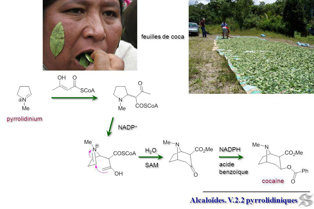 Alcaloïdes. V.2.2 pyrrolidiniques