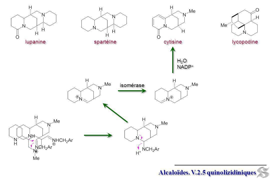 Alcaloïdes. V.2.5 quinolizidiniques
