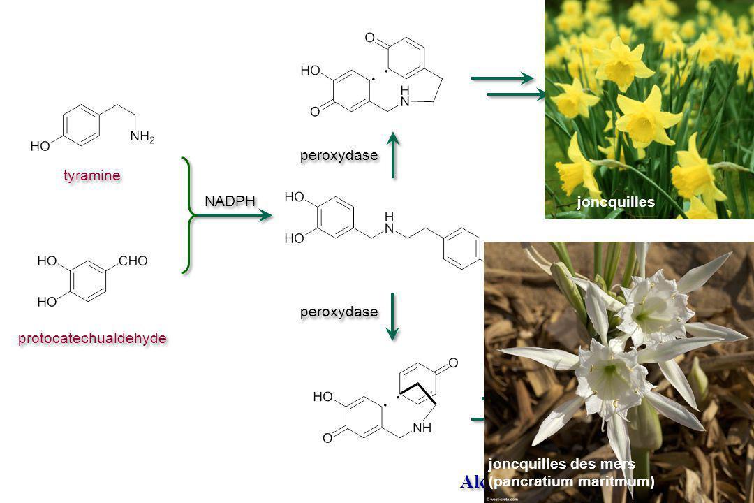 Alcaloïdes. V.3.4 Amaryllidacea