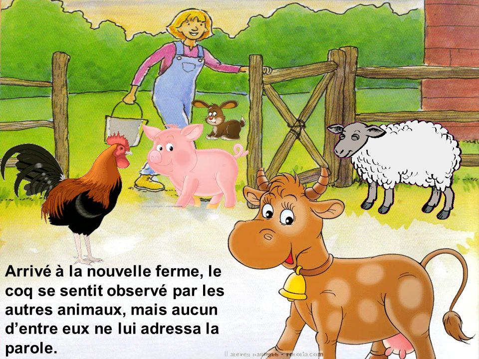 Arrivé à la nouvelle ferme, le coq se sentit observé par les autres animaux, mais aucun d'entre eux ne lui adressa la parole.
