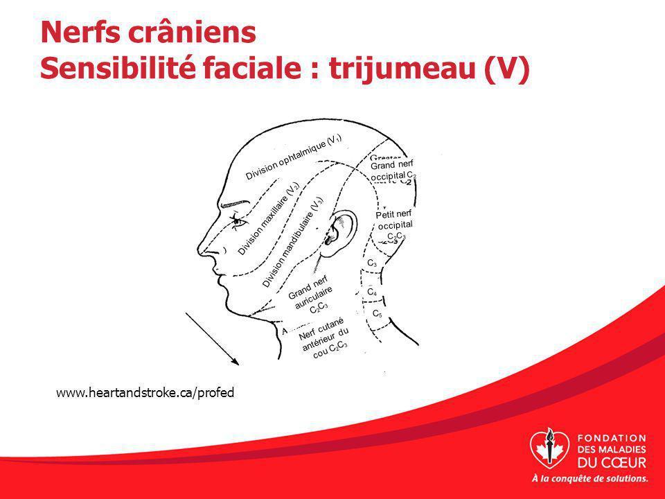 Nerfs crâniens Sensibilité faciale : trijumeau (V)