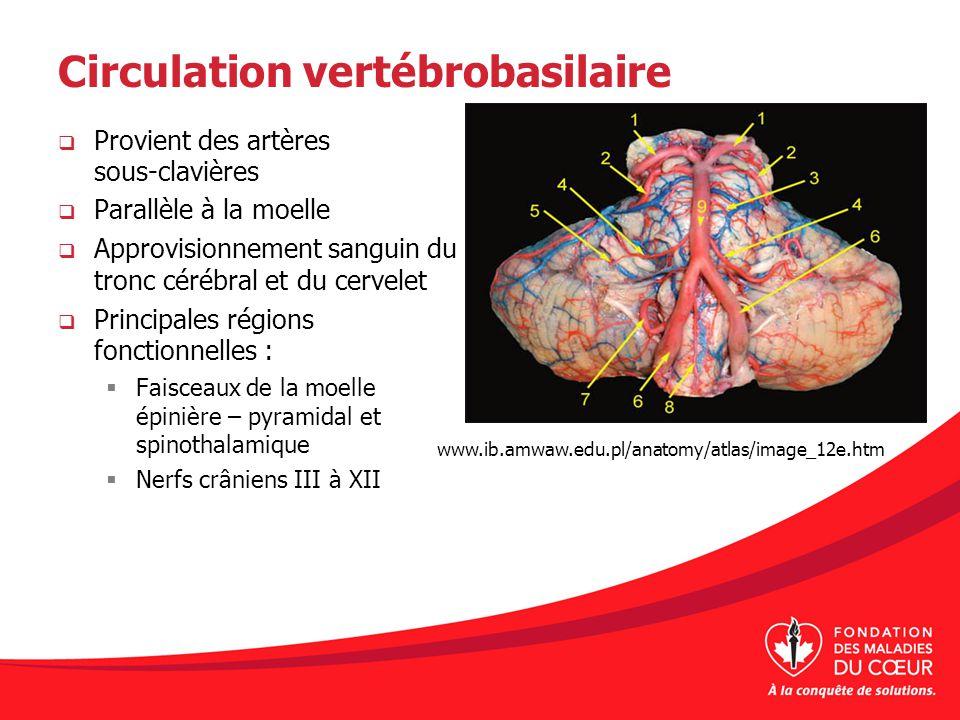 Circulation vertébrobasilaire