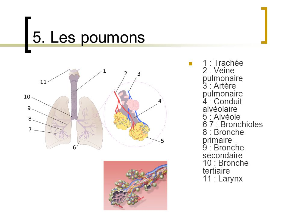 5. Les poumons
