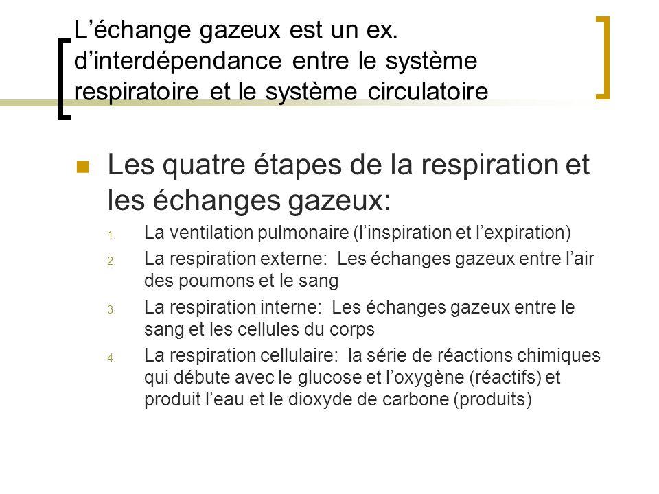 Les quatre étapes de la respiration et les échanges gazeux: