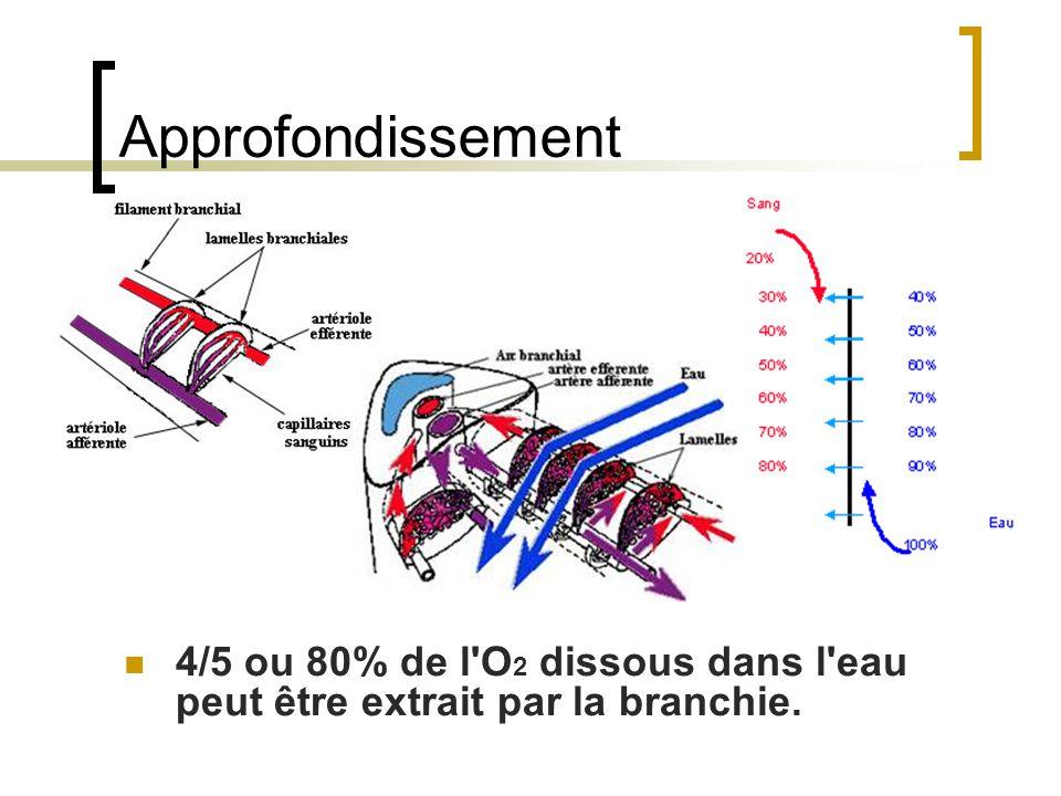 Approfondissement 4/5 ou 80% de l O2 dissous dans l eau peut être extrait par la branchie.