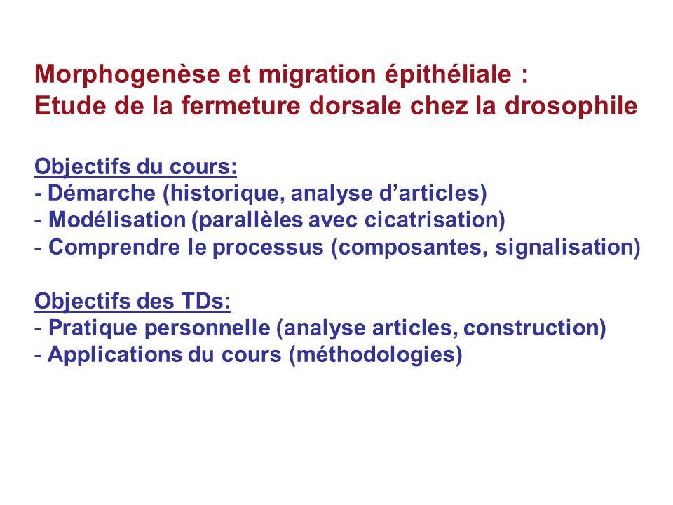 Morphogenèse et migration épithéliale :