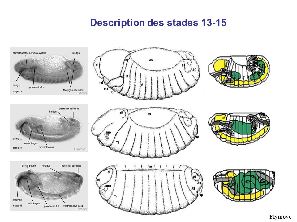Description des stades 13-15