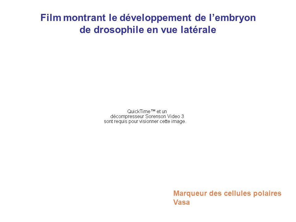 Film montrant le développement de l'embryon