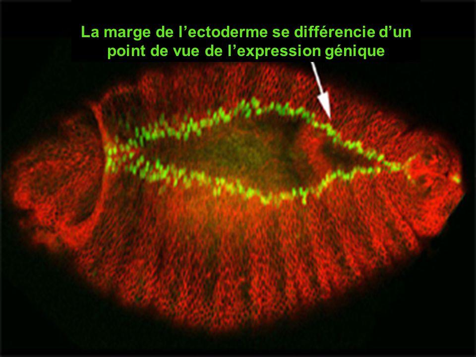 La marge de l'ectoderme se différencie d'un point de vue de l'expression génique