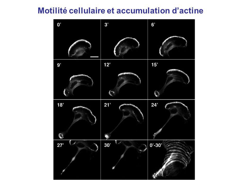 Motilité cellulaire et accumulation d'actine