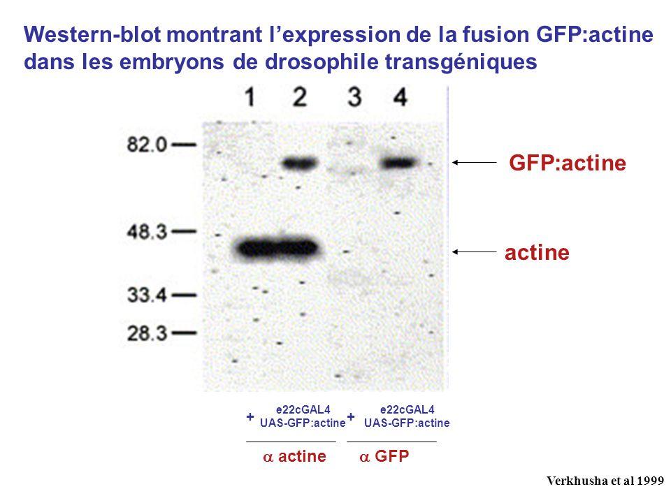 Western-blot montrant l'expression de la fusion GFP:actine