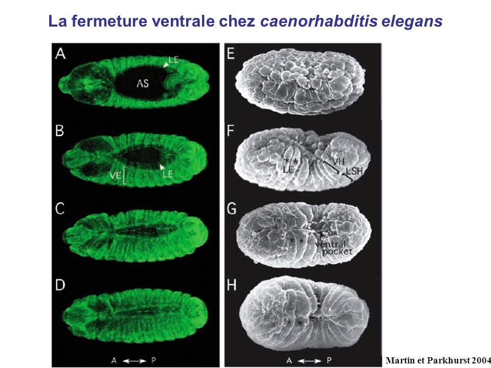 La fermeture ventrale chez caenorhabditis elegans