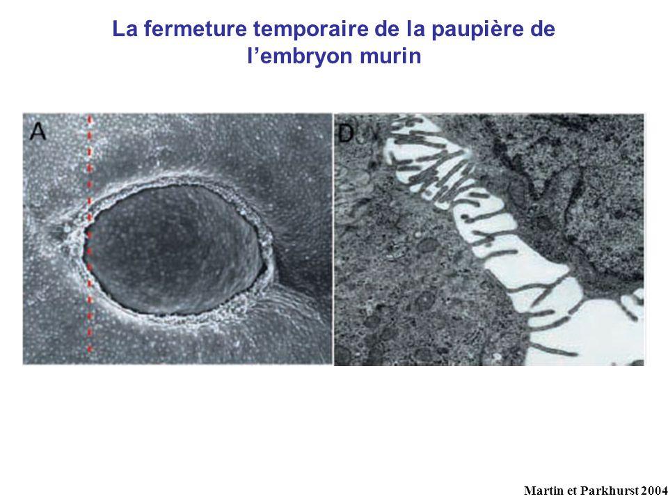 La fermeture temporaire de la paupière de l'embryon murin