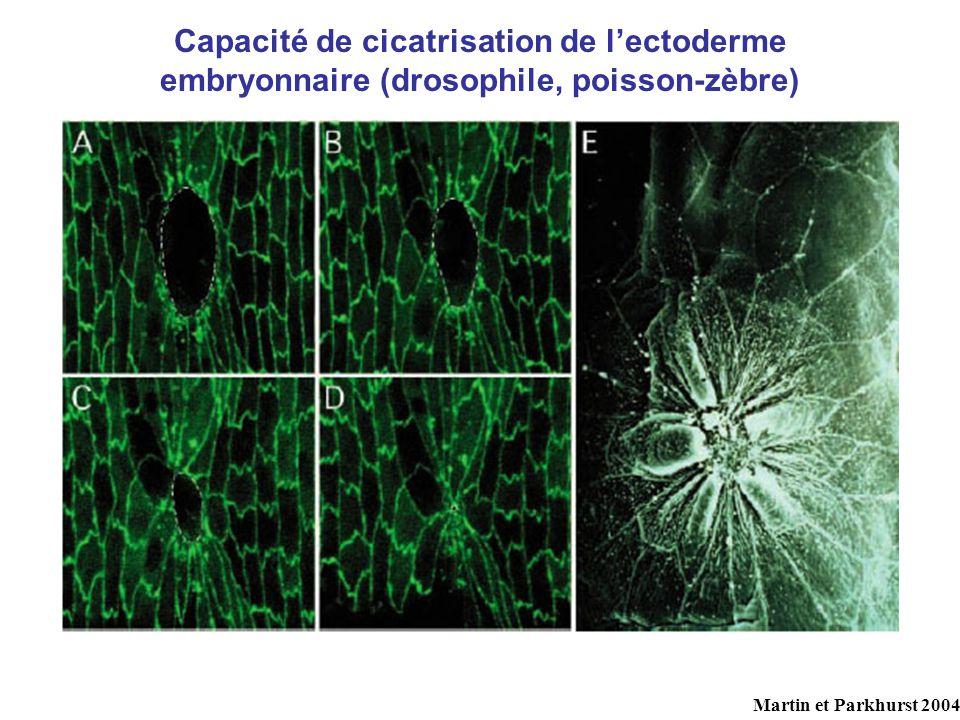 Capacité de cicatrisation de l'ectoderme embryonnaire (drosophile, poisson-zèbre)