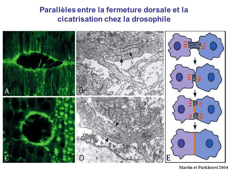 Parallèles entre la fermeture dorsale et la cicatrisation chez la drosophile
