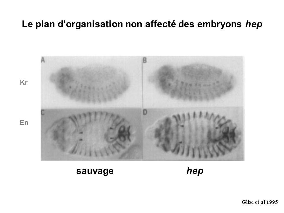 Le plan d'organisation non affecté des embryons hep