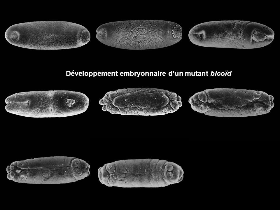 Développement embryonnaire d'un mutant bicoïd