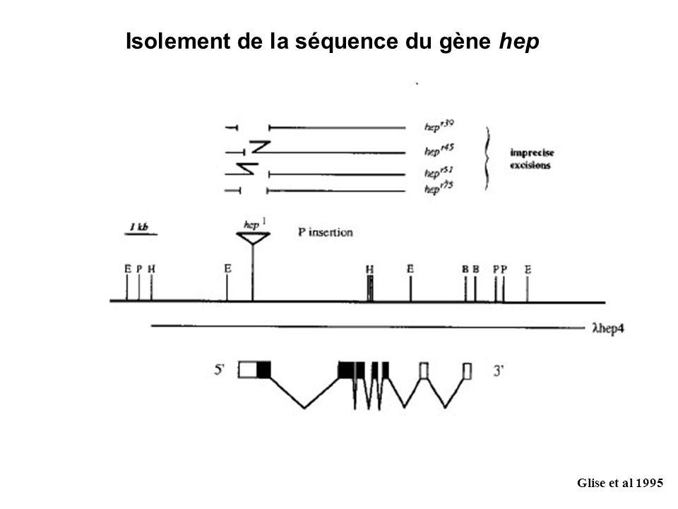 Isolement de la séquence du gène hep