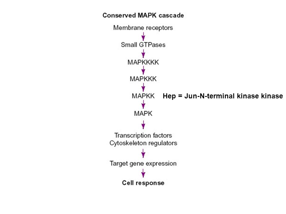 Hep = Jun-N-terminal kinase kinase