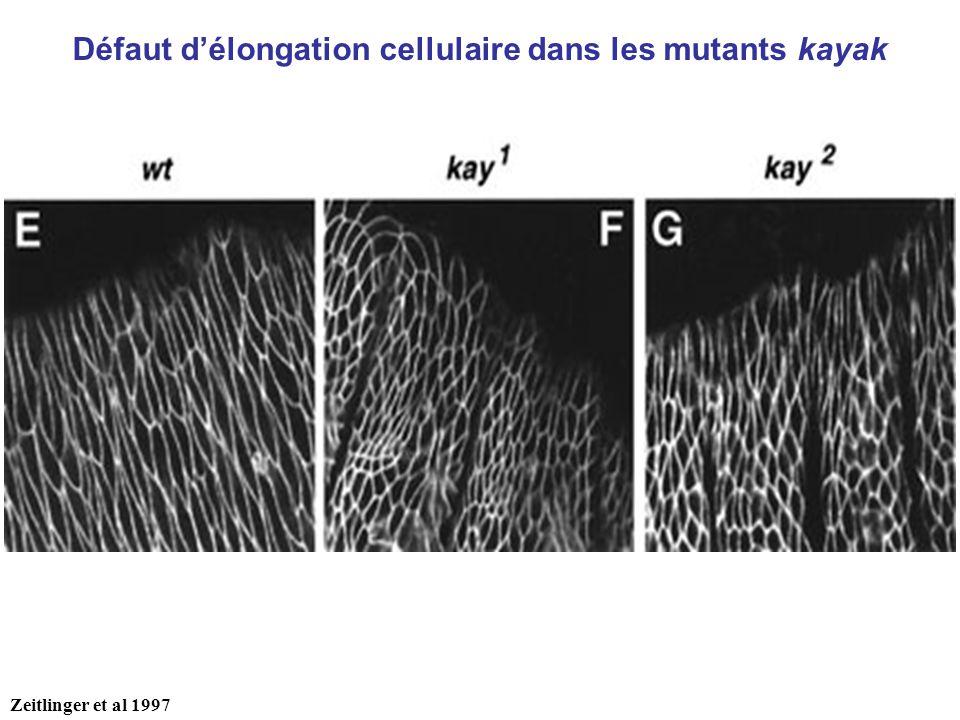 Défaut d'élongation cellulaire dans les mutants kayak