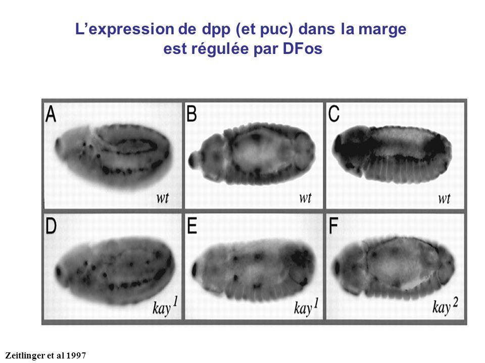 L'expression de dpp (et puc) dans la marge