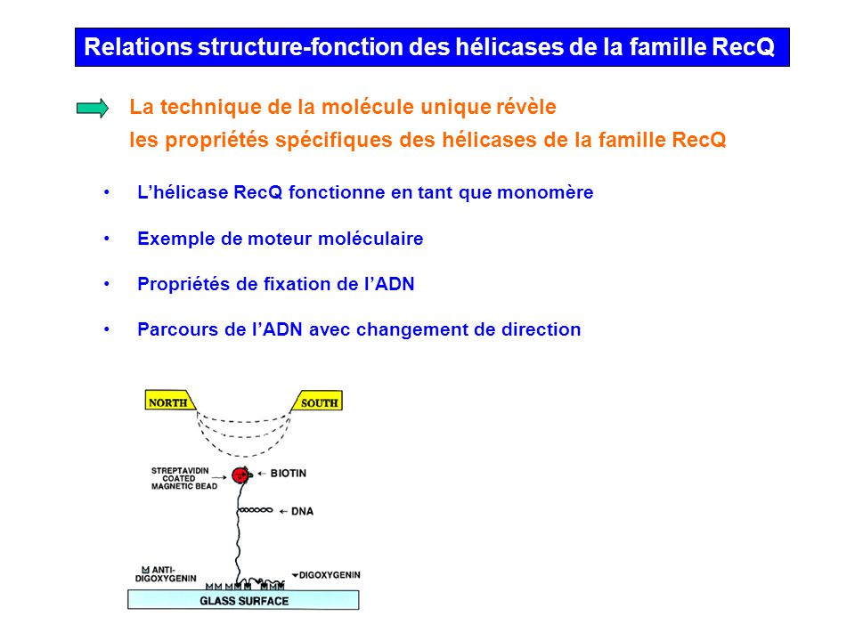 Relations structure-fonction des hélicases de la famille RecQ