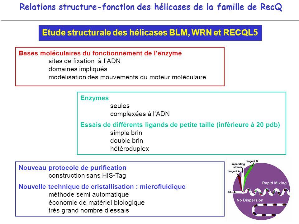 Relations structure-fonction des hélicases de la famille de RecQ