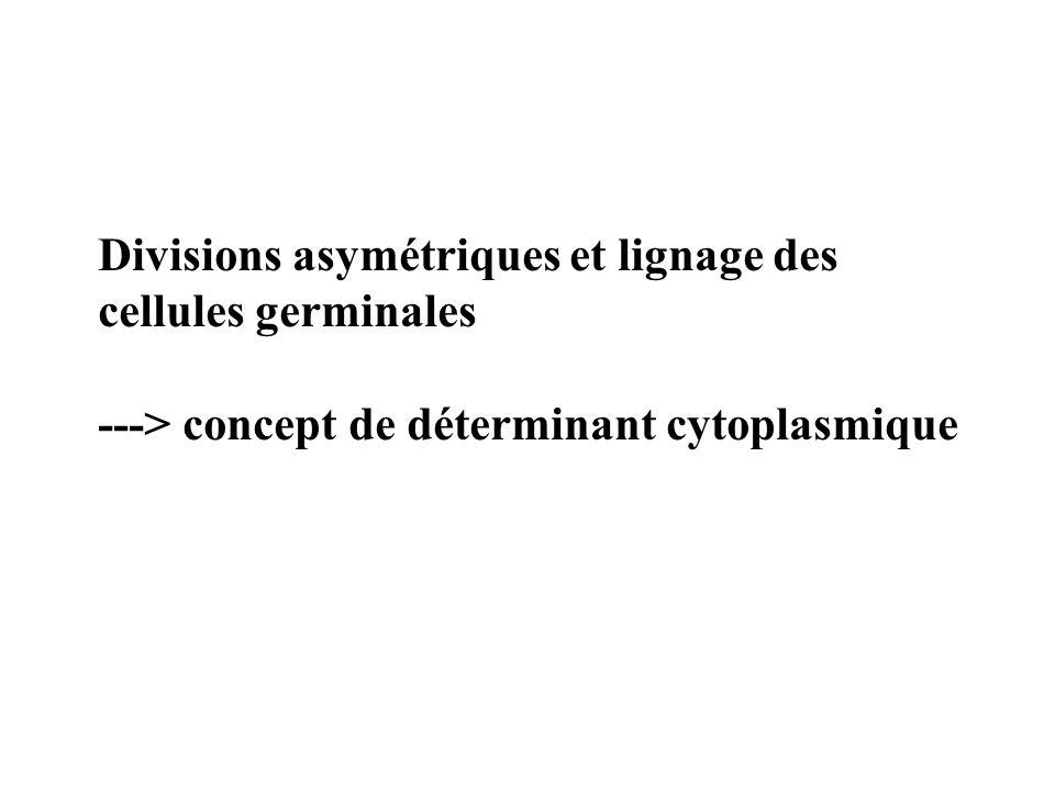 Divisions asymétriques et lignage des