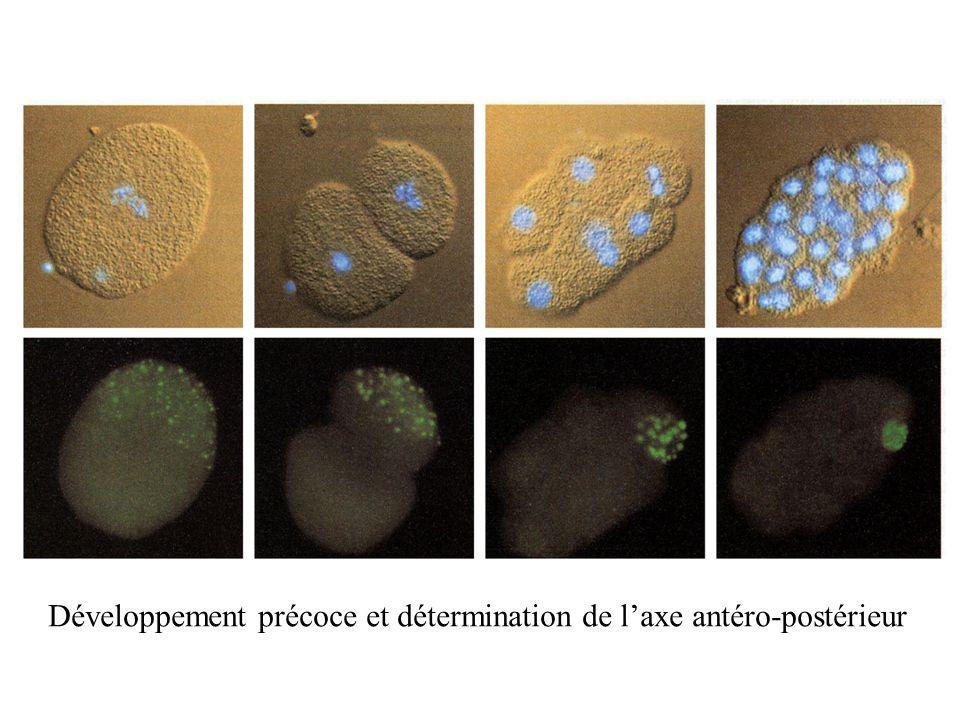 Développement précoce et détermination de l'axe antéro-postérieur