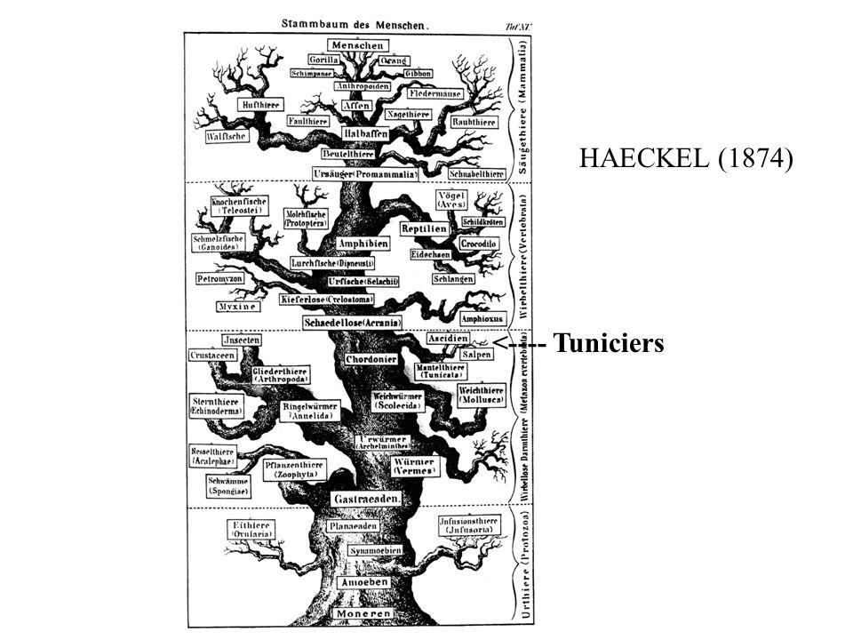 HAECKEL (1874) <---- Tuniciers