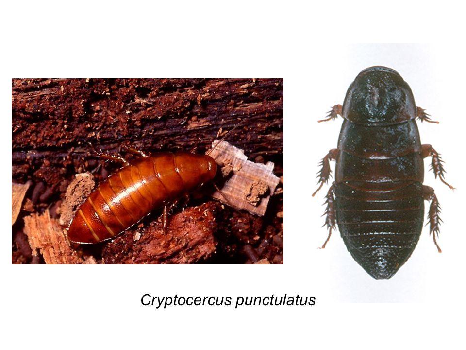 Cryptocercus punctulatus