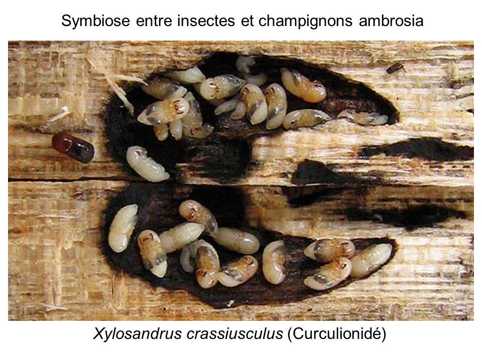 Symbiose entre insectes et champignons ambrosia