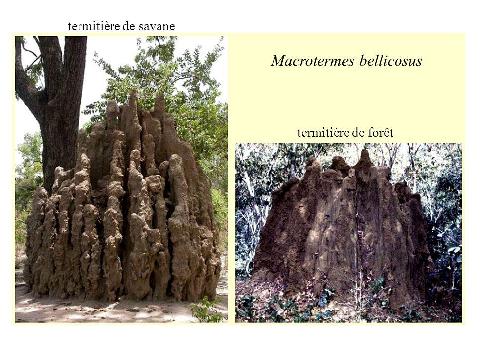 Macrotermes bellicosus