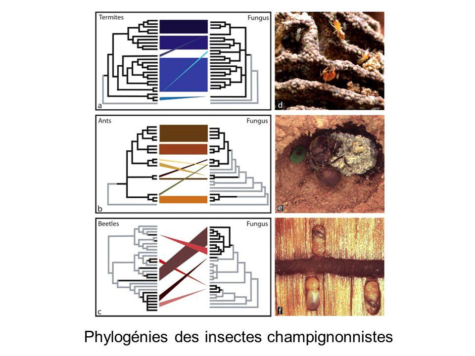 Phylogénies des insectes champignonnistes