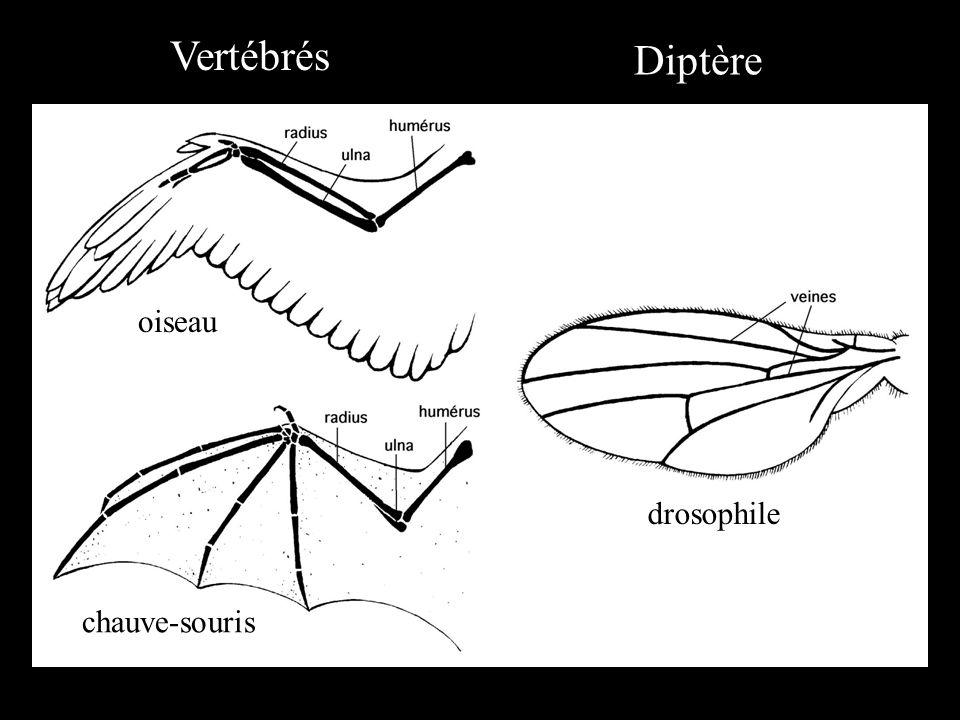 Vertébrés Diptère oiseau drosophile chauve-souris