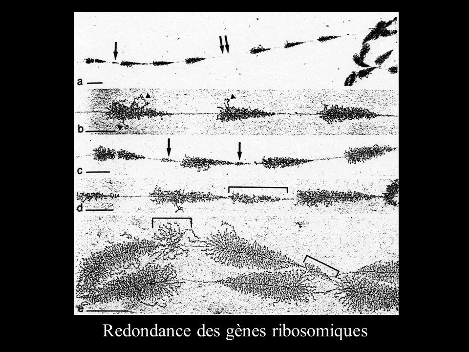 Redondance des gènes ribosomiques