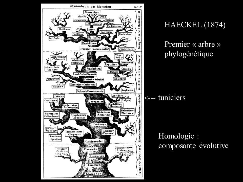 HAECKEL (1874) Premier « arbre » phylogénétique Homologie :
